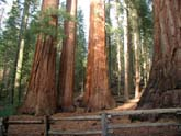 Stand of Redwoods in The Mariposa Grove of Big Trees